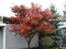 maple 15 SEEDS RED JAPANESE MAPLE tree GroCo US USA or bonsai