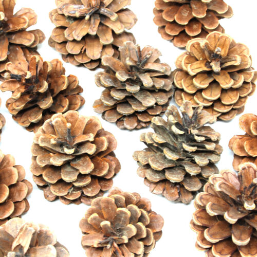 1 kg Lot de Austriaca Pine Tree cônes-Noël Festive Décoration-environ 50