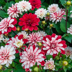 Decorative Mix Dahlia Root Spectacular Flowers Bulb Check Our
