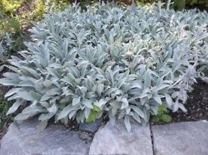 Image is loading Stachys-byzantina-Silver-Carpet -ground-cover-evergreen-perennial-