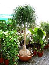 Beaucarnea Recurvata, Nolina Pony Tail Palm Beautiful Tree 20 Seeds Bonsai