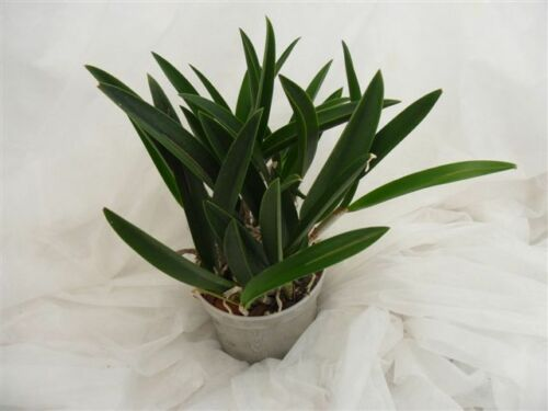 14cm Topf 1 blühfähige Orchidee der Sorte Brassocattleya Mai Kai