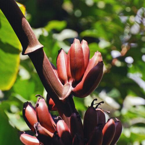Zwergbanane Musa Manii 5 Samen 5 seeds Dwarf Banana,Tolle Blühte und Früchte