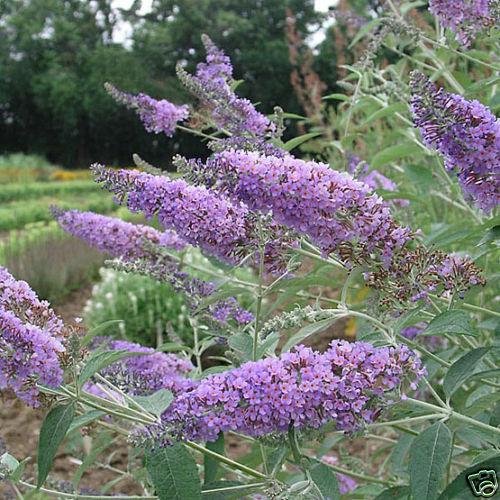 Buddleia Davidii ORCHID BEAUTY G712 SEED SEMI 40 graines ARBRE A PAPILLONS MAUVE