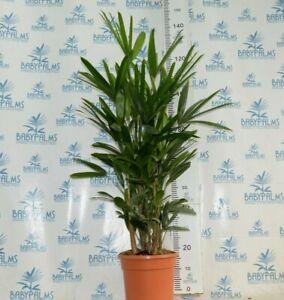 rhapis excelsa multi-troncos 100-120 cm, pot 28 cm