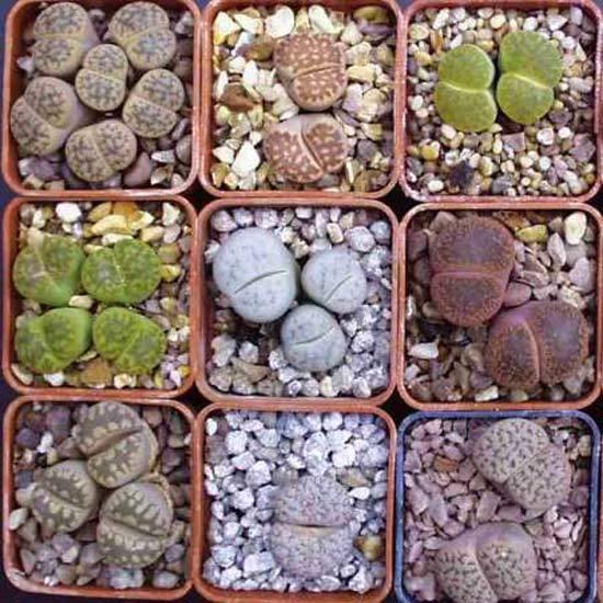 Lithops Mixture - 50 Seeds - Assortment Living Stones Succulent