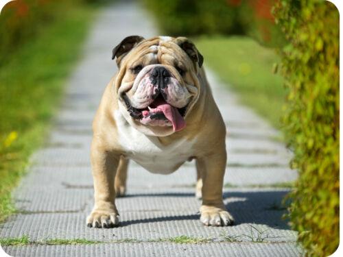 Englische Bulldogge Mauspad Edition Colibri powerfull dog Kraftpaket