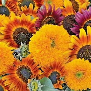 500+ Sunflower Seeds for Planting - Jumbo Mix Pack - 15+ Varieties big packs