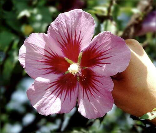 Hibiscus hamabo IN VASO 1L