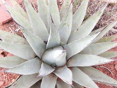100 Seed Aloe Vera Seeds Edible Succulent Plant Rare Herbal Medicinal ER