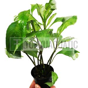 Hygrophila-Angustifolia-Potted-Willow-Hygro-Freshwater-Live-Aquarium-Plant-Rare