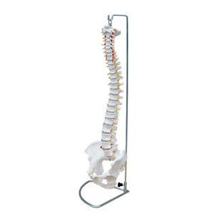66fit-Flexible-Vertebral-Column-With-Pelvis-Medical-Training-Aid