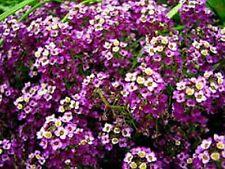 Alyssum - (Lobularia Maritima)- Violet Queen - 200 Seeds