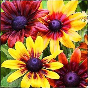 GOLDEN-CONEFLOWER-MIX-1000-SEEDS-Rustic-Dwarf-Rudbeckia-Hirta-nana-FLOWER