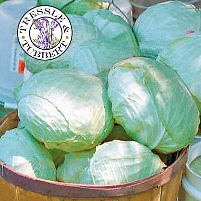 Rare Giant Cabbage, Tropic Giant, Vegetable - 5 seeds - UK SELLER