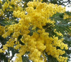 10 golden mimosa acacia baileyana yellow wattle tree flower seeds image is loading 10 golden mimosa acacia baileyana yellow wattle tree mightylinksfo