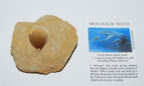 MOSASAUR Dinosaur Tooth in Matrix Fossil 1 to 1 1/4 size M #1394 11o