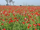 Premier Seeds Direct TN-H3R8-GFZ5 3 G Corn Flanders Red Field Poppy Papaver Rhoe