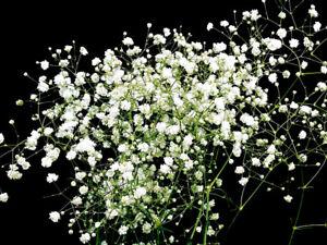 300-3600-Graines-de-Fleurs-Gypsophile-Paniculata-Baby-039-s-Breath-Rustique