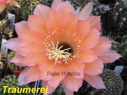 Echinopsis Schick Hybride #211 Träumerei Gr 3 cm