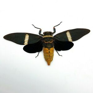 Large-Orange-Cicada-Tosena-albata-True-Bug-Insect-Collector-Specimen-Art