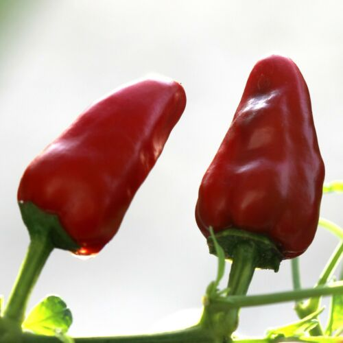 Details about  /CHILLI Facing Heaven Chao Tian Jiao 10 Chili Seeds EASY vegetable garden SPICY