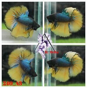[240_A3]Live Betta Fish High Quality Male Fancy Over Halfmoon 📸Video Included📸