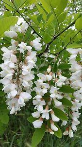Fast, Hardy, Fragrant 50 Tree Seeds Robinia pseudoacacia Black Locust
