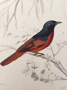 Gravure Oiseaux Orbigny Buffon Dessin Travies Annee 1849 Gobe Mouche Ebay