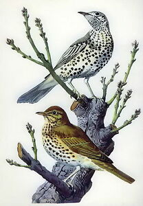 Antique Old Vintage TUNNICLIFFE Litho Art Bird Print SONG & MISTLE THRUSH