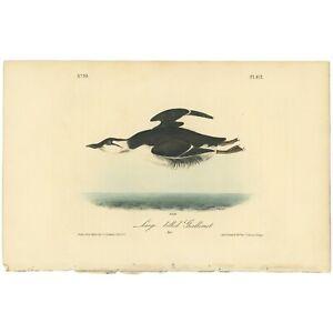 Audubon Octavo 1st Ed 1840 hand-colored lithograph Pl 472 Large-billed Guillemot