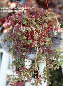 3-cuttings-Calico-Kitten-Crassula-Variesucculent-plant-cactus-succulent-Rare