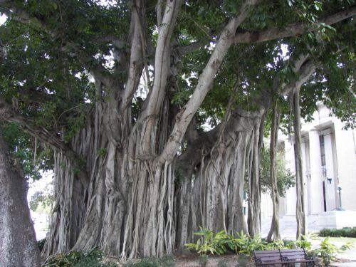 FICUS BENGHALENSIS Banyan Tree 25+ Fresh Seeds BANSAI STRANGLER FIG