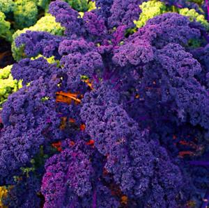 Organic Purple Scarlet Kale Plants Garden Vegetables Bonsai NEW Y 100 PCS Seeds
