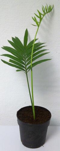 Mårtensson tapioca palmfarn CYCAS Rumphii pianta 25-30cm palmfarn rarità