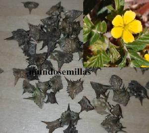 Abrojo  tribulus terrestris afrodisiaco natural 10 Semillas
