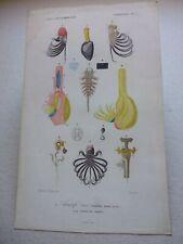 Gravure couleur 19° animaux : Cirrhipèdes:anatomie de l' Anatife tissé
