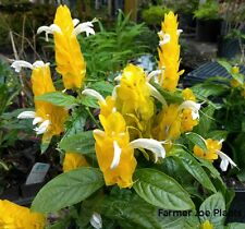 """PACHYSTACHYS LUTEA - GOLD SHRIMP PLANT - 2 PLANTS - 2"""" POTS"""