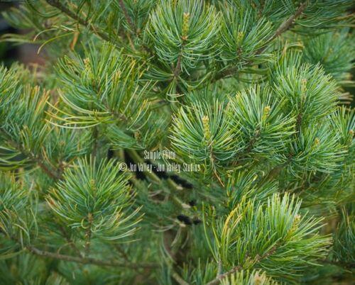 Pinus parviflora Japanese Five Needle Pine Seeds Irregular Form Bonsai-Standard