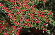 Cotoneaster Horizintails Shurb    10 SEEDS!    EASY!!!!