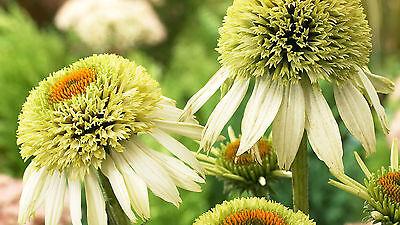 Echinacea Purpurea Seeds -  COCONUT LIME CONEFLOWER - Deer Resistant - 15 Seeds