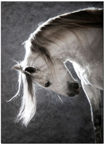 Stunning Spanish Andalusian Horse High Quality Canvas Print Poster 14X20 Drawing
