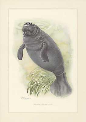 Bescheiden Manati Trichechus Manatus Farbdruck Von 1959 Rundschwanzseekühe GläNzende OberfläChe