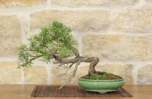 Bonsai Of Rosemary 35 Ebay