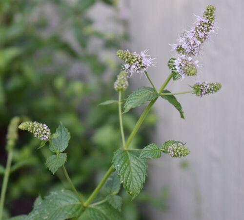 US Seller Fresh Heirloom Mint Peppermint Lydia Herbs Plant Seed Perennial 25
