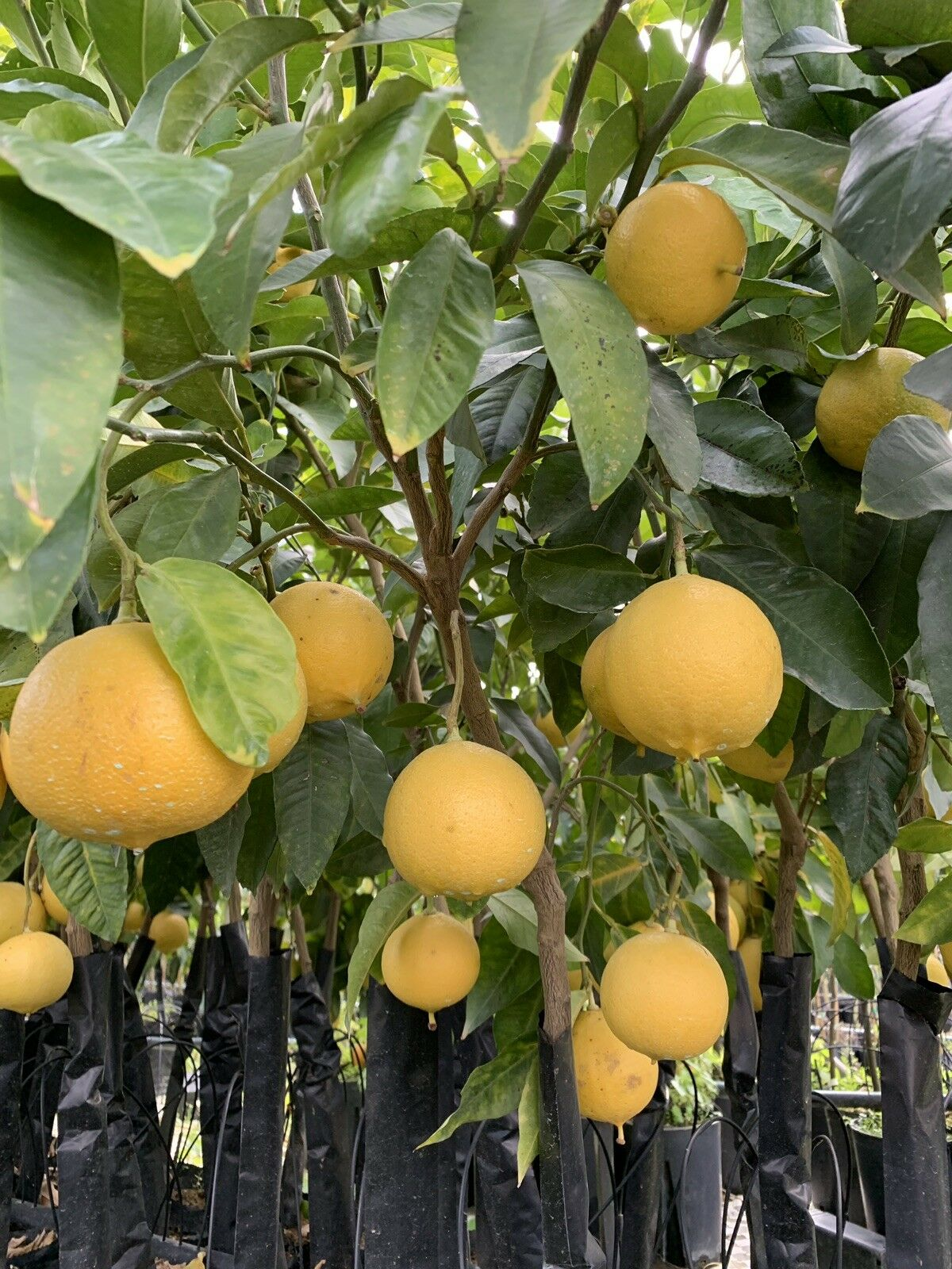 Bergamota Citrus bergamia 'fantastico' 140cm zitruspflanze