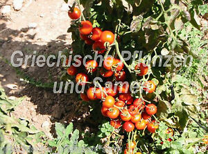 SWEET-MILLION-Kirschtomate-Cocktail-Tomate-zuckersuess-10-frische-Samen-Balkon