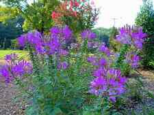 Hot Purple Spider Flower (Cleome) 30 SEEDS -  BOLD BRIGHT COLOR! Comb.S/H!