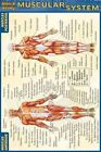 Pocket Muscular System Laminated Reference Guide Lisa Drucker Kaaren Ashley