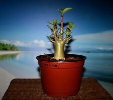 ADENIUM PLANT DESERT ROSE ARABICUM THAI SOCO KINGS CROWN #1 NICE FOR BONSAI
